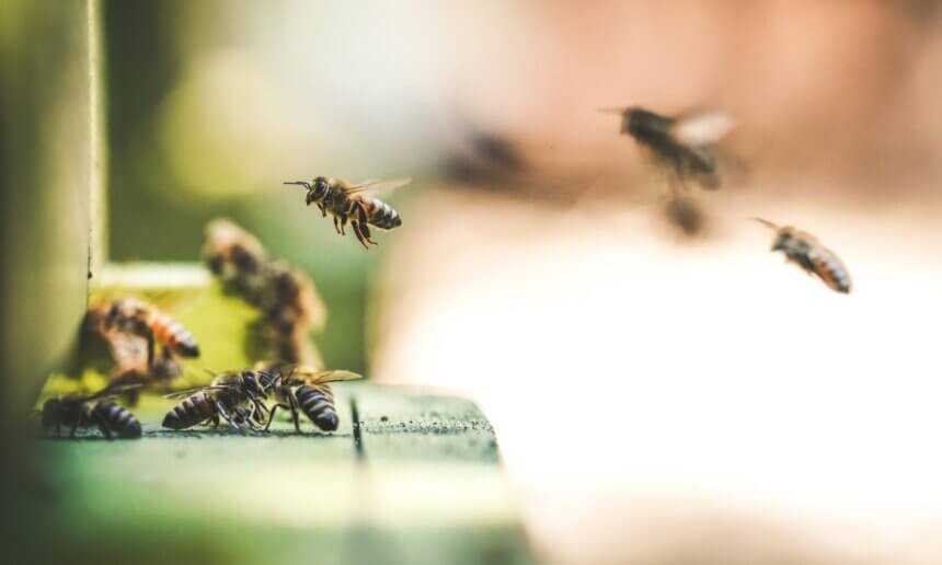 友善胡麻栽培應用蜜蜂授粉之效益及其作為養蜂蜜源之評估